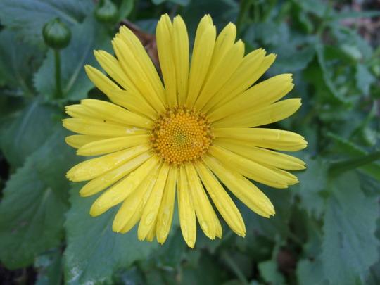 Doronicum (Doronicum orientale)
