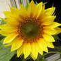 Sunflower_p7301473