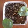 Wax Plant (hoya bella)
