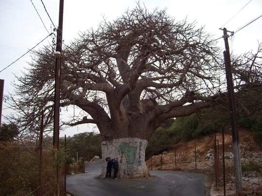 baobab (upside down tree) adansonia in dakar senegal (Adansonia digitata (Apenbroodboom))