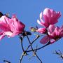 sweet bay (magnolia) at Harlow Carr (Magnolia campbellii)