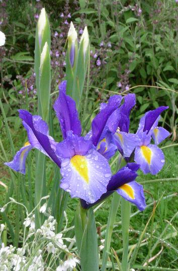 Flag Iris (Iris)
