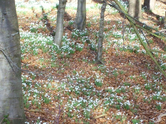 Natural Woodland Full Of Snowdrops in SCOTLAND :)