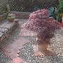 Acer Palmatum Atropureum