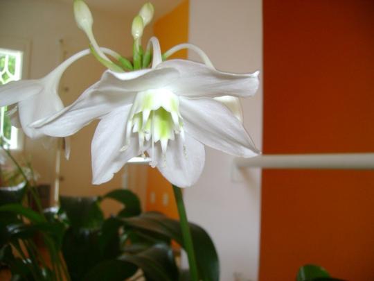 flower spot (Eucharis grandiflora (Amazon Lily))