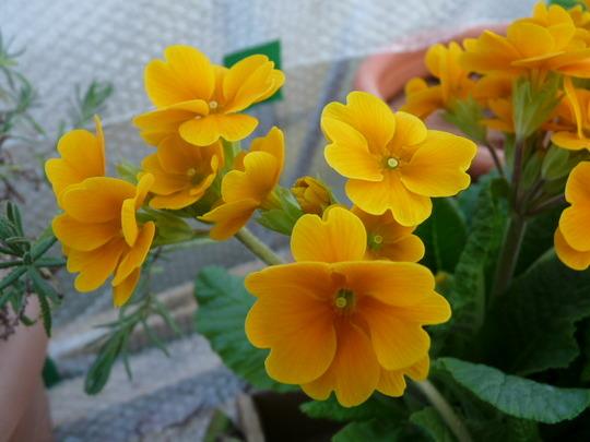 Polyanthus 2 (Primula polyanthus (Primrose))