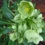 A garden flower photo (Helleborus foetidus (Hellebore))