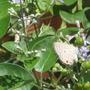 shy butterfly (Verbenaceae)