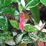 Star jasmine (tricolour) (Trachelospermum jasminoides variegatum (tricolour))