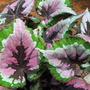Rex begonia 2 (Rex Begonia)