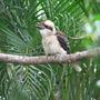 Kookaburra_28