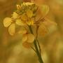 arabidopsis thaliana 01 (Arabidopsis thaliana (Thale Cress))