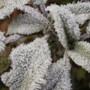 frosty (Stachys byzantina (Lambs' ears))