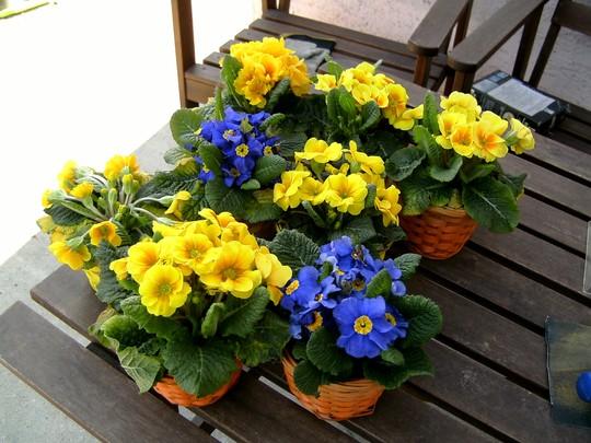 Primulas. Gift from Romania. 25 Feb 2008 (Primula variabilis)
