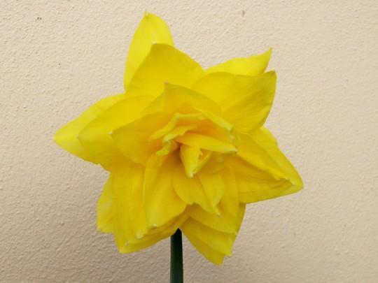 Golden Ducat (Narcissus 'Golden Ducat')