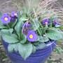 Blue_pot_of_polyanthus