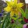 Narcissus 'Rip van Winkle' (Narcissus)
