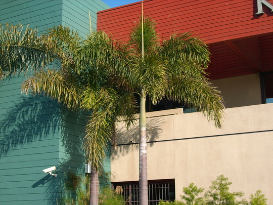Wodyetia bifurcata - Foxtail Palms (Wodyetia bifurcata - Foxtail Palms)