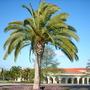 Phoenix carnariensis - Canary Island/California Date Palm (Phoenix carnariensis - Canary Island/California Date Palm)