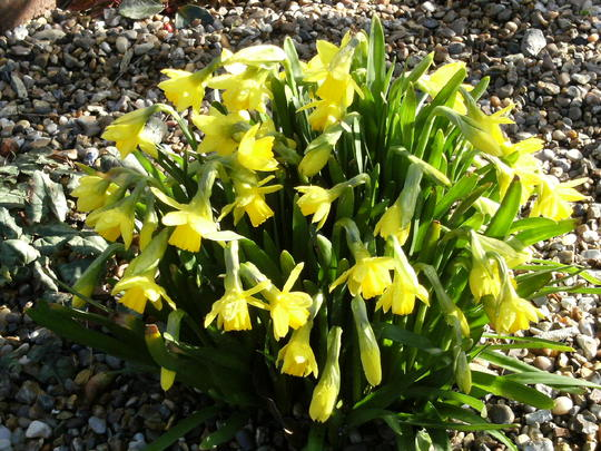 Tete a Tete (Narcissus)