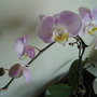 Pink and Yellow Moth Orchid