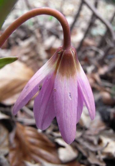 Erythronium dens-canis - 2009 (Erythronium dens-canis (Dog Tooth Violet))