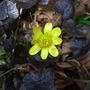 Ranunculus_ficaria_brazen_hussey_
