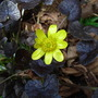 Ranunculus ficaria 'Brazen Hussey' (Ranunculus ficaria 'Brazen Hussey')