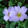 Primula_vulgaris_subsp_sibthorpii_2009