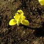 Spot the hoverfly (Iris reticulata (Iris))