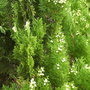 Conifer in flower (conifer)