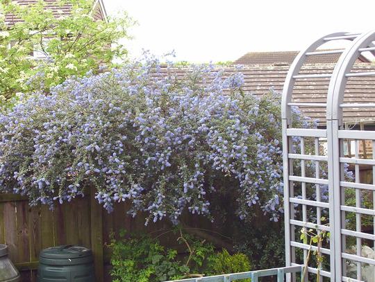 A garden flower photo (canothus)