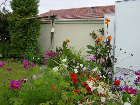 canna lillies (Canna indica (Indian shot plant))