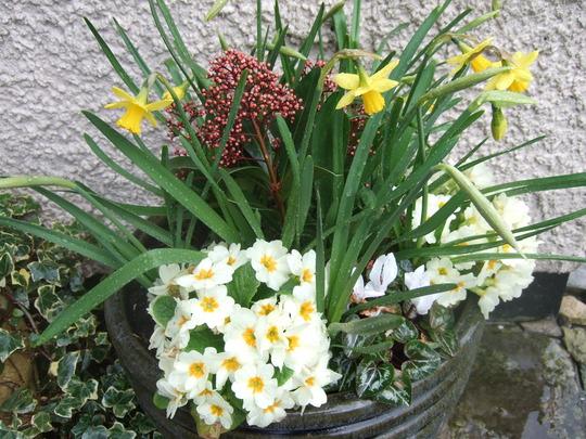 Pot and Narcissi