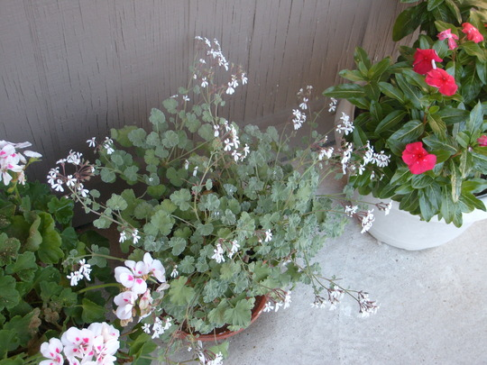 Amazing scnted-leaved geranium - it just drips with flowers! And the leaves smell heavenly. (Pelargonium odoratissimum)