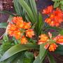 Clivia miniata - Kaffir Lily Blooming (Clivia miniata - Kaffir Lily)