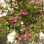 Bauhinia blakeana - Hong Kong Orchid Tree (Bauhinia blakeana - Hong Kong Orchid Tree)