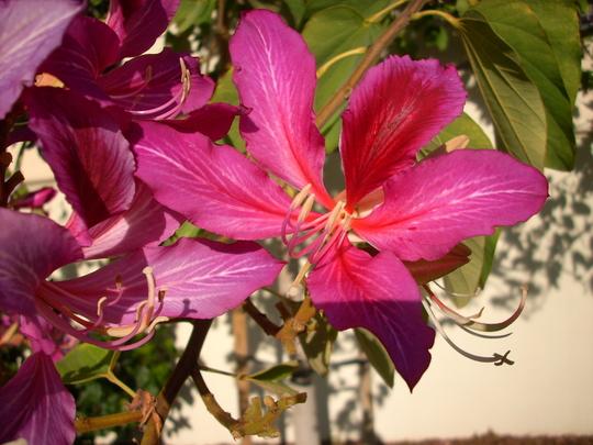 Bauhinia blakeana - Hong Kong Orchid Tree Flower (Bauhinia blakeana - Hong Kong Orchid)