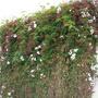 Pink Jasmine - Jasminum polyanthum (Pink Jasmine - Jasminum polyanthum)
