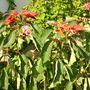 Euphorbia pulcherrima - Poinsettia/Christmas Plant (Euphorbia pulcherrima - Poinsettia/Christmas Plant)