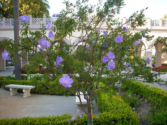 Alyogyne huegelii - Blue Hibiscus (Alyogyne huegelii - Blue Hibiscus)