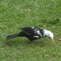 Black_and_white_blacbird_1