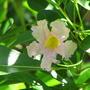 Tabebuia_heterophylla_2