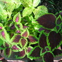 Solenostemon scutellarioides - collection of coleus (Solenostemon scutellarioides (Coleus))