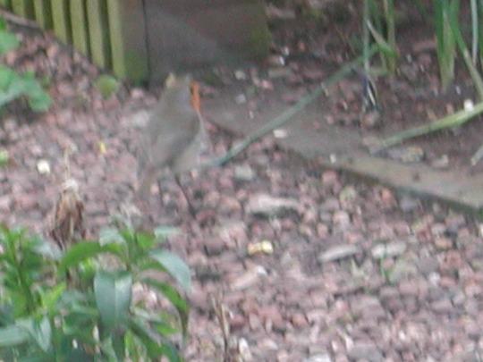 Robin waiting