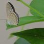 butterfly on wing bean leaf