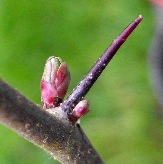 My Hawthorn Buds for Dawn