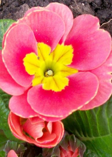 beautiful Primula (Primula)