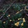 Wild Daffodils  (Narcissi pseudonarcissus)