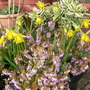 Heathers and daffs pot